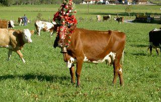 Geschmückte Kuh auf der Wiese des Peternhofes