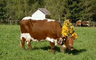 Geschmückte Kuh auf der Weide des Peternhofes