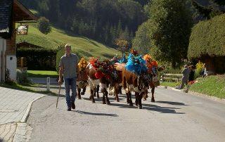 Hansi Aufschnaiter mit einer Herde geschmückter Kühe beim Almauftrieb